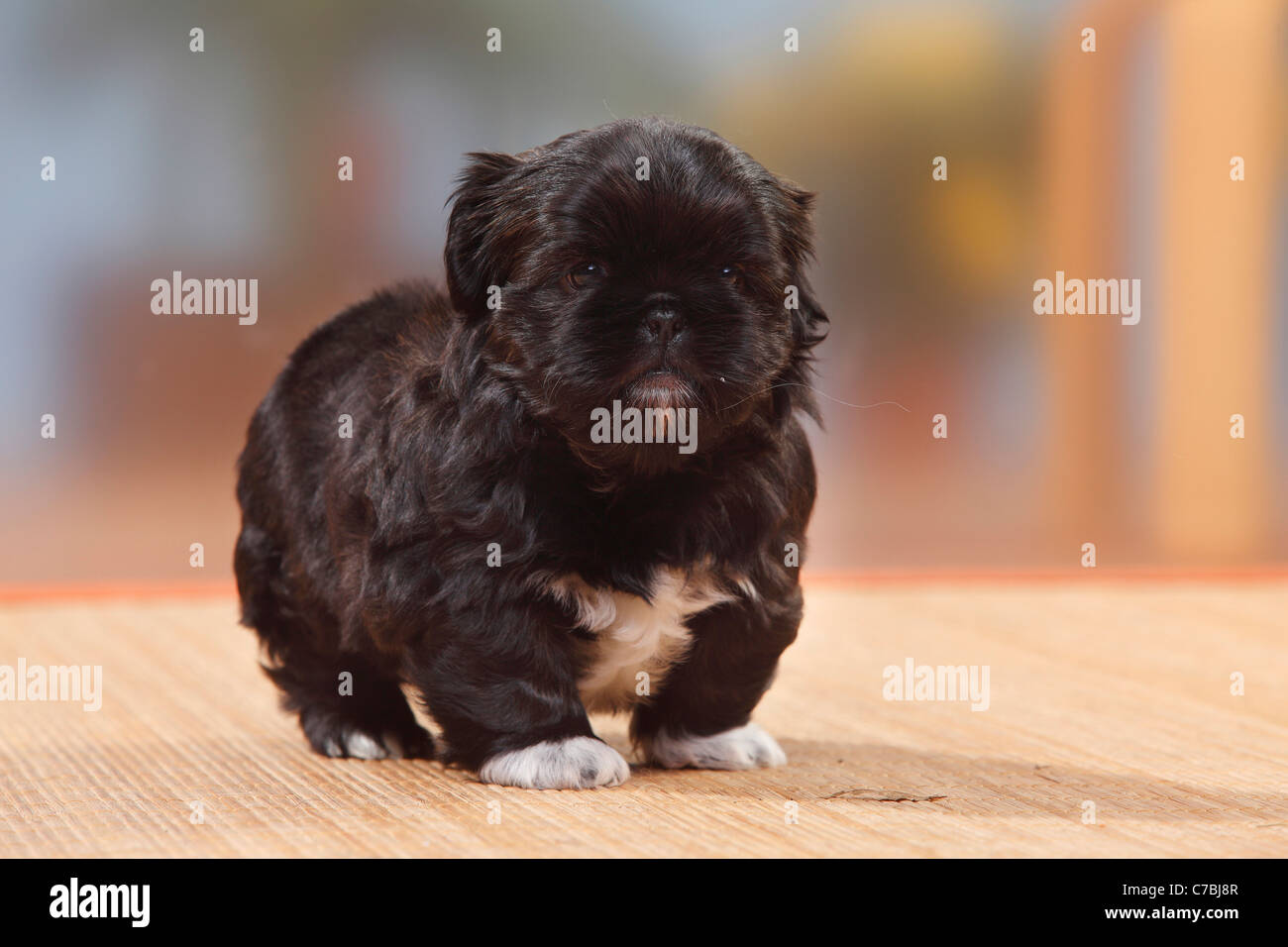 Shih Tzu Puppy 6 Weeks Stock Photo 38979159 Alamy