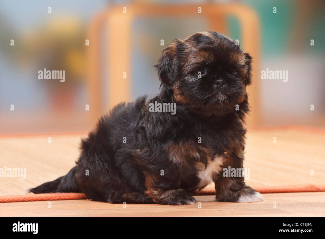 Shih Tzu Puppy 6 Weeks Stock Photo 38979185 Alamy