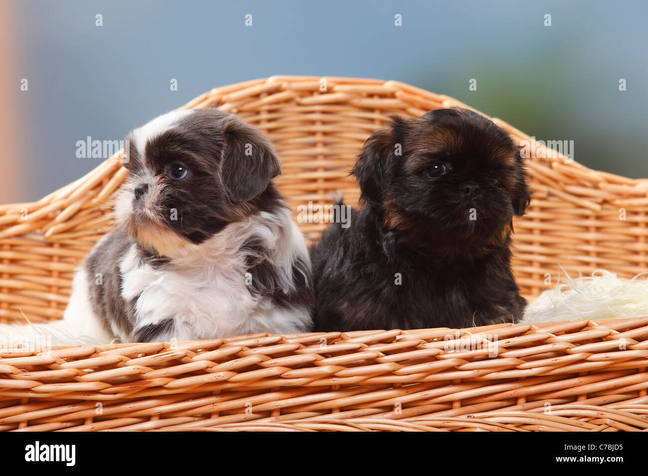 Shih Tzu Puppies 6 Weeks Stock Photo 38979281 Alamy