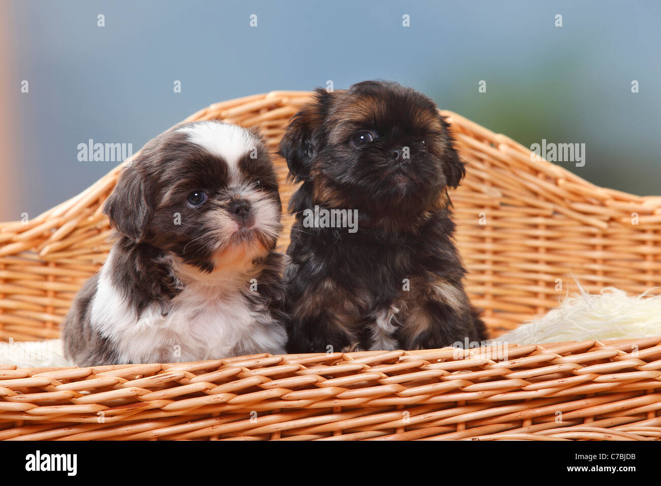 Shih Tzu Puppies 6 Weeks Stock Photo 38979287 Alamy