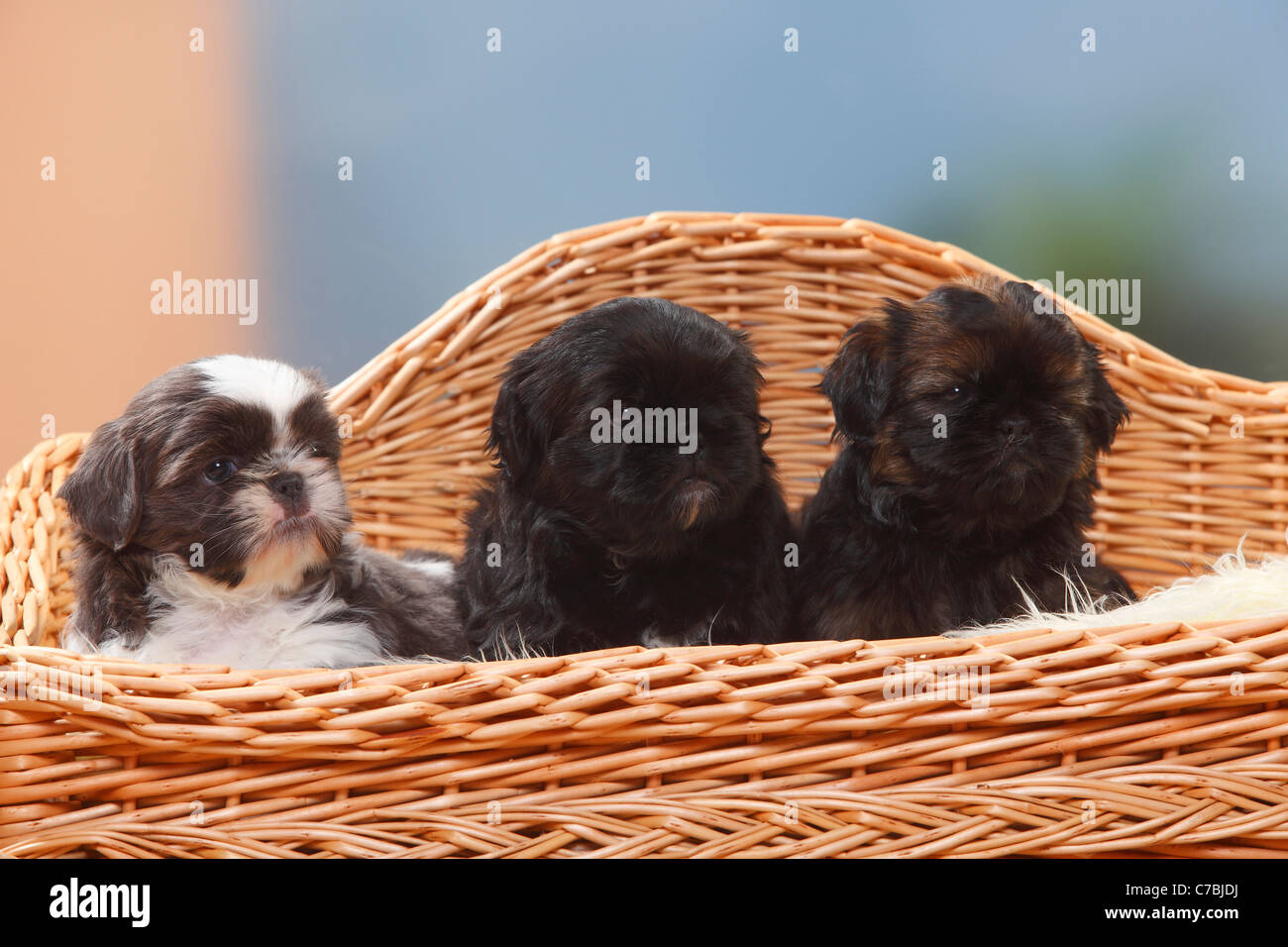 Shih Tzu Puppies 6 Weeks Stock Photo 38979294 Alamy