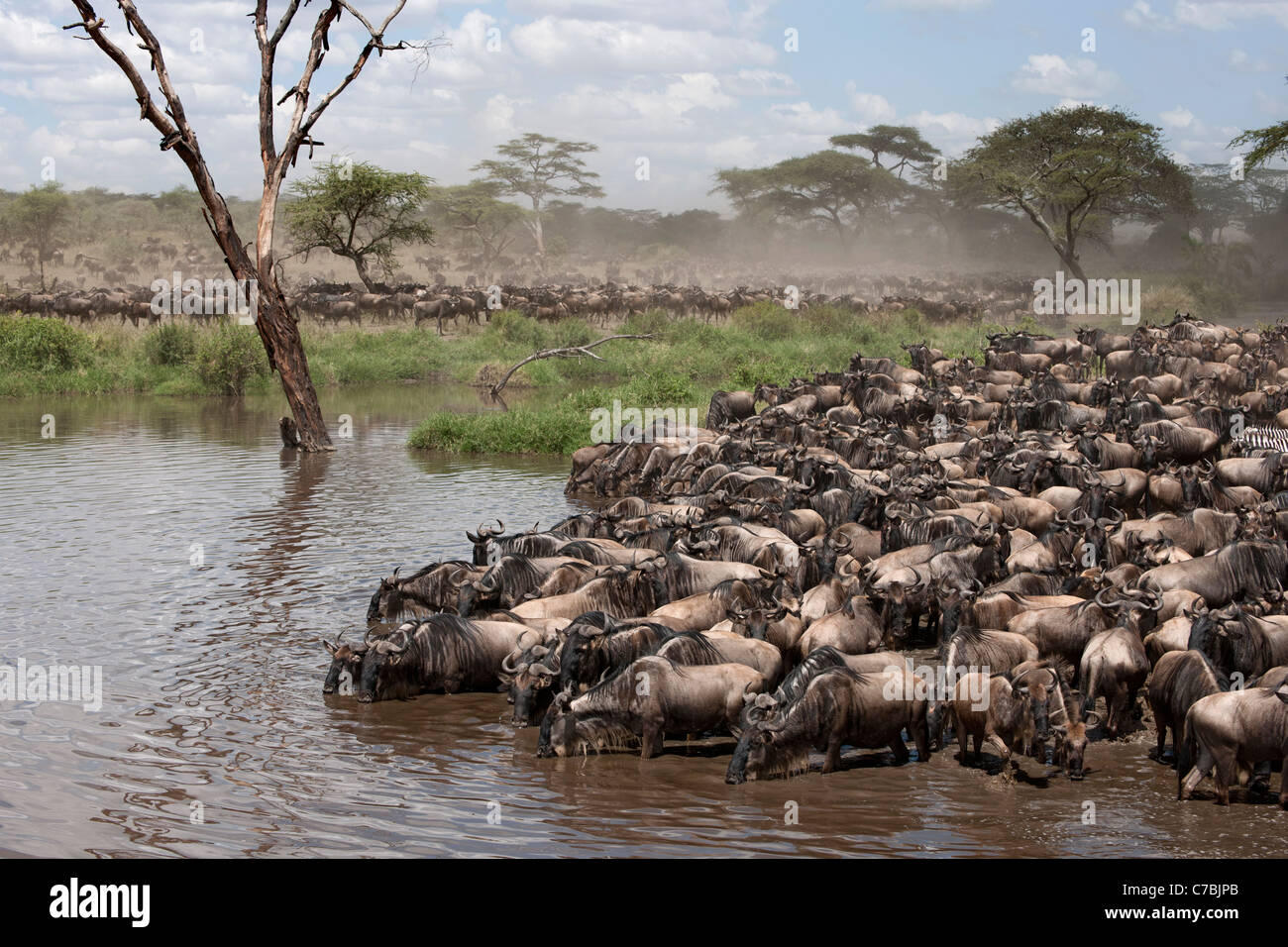 Zebras and Wildebeest at the Serengeti National Park, Tanzania, Africa - Stock Image