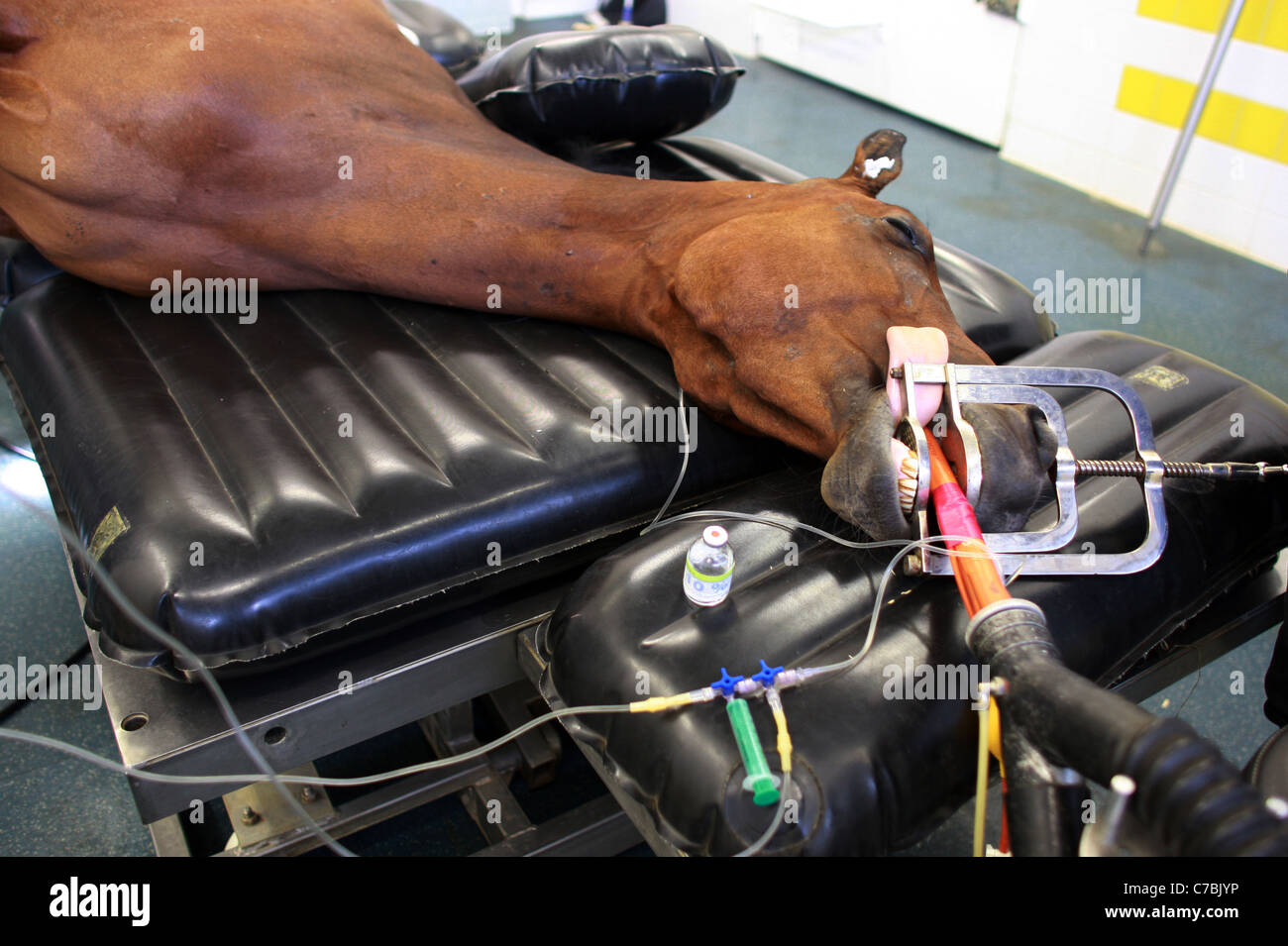 An anesthetized horse lying on an operating table - Stock Image