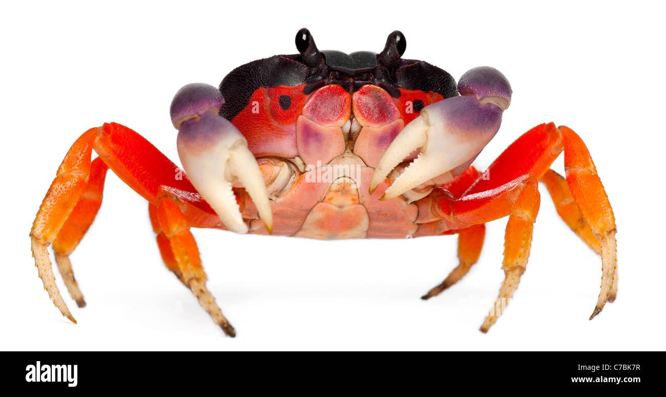 Red land crab, Gecarcinus quadratus, in front of white background - Stock Image