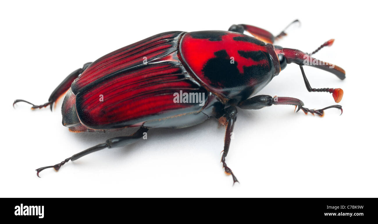 Asian red palm weevil