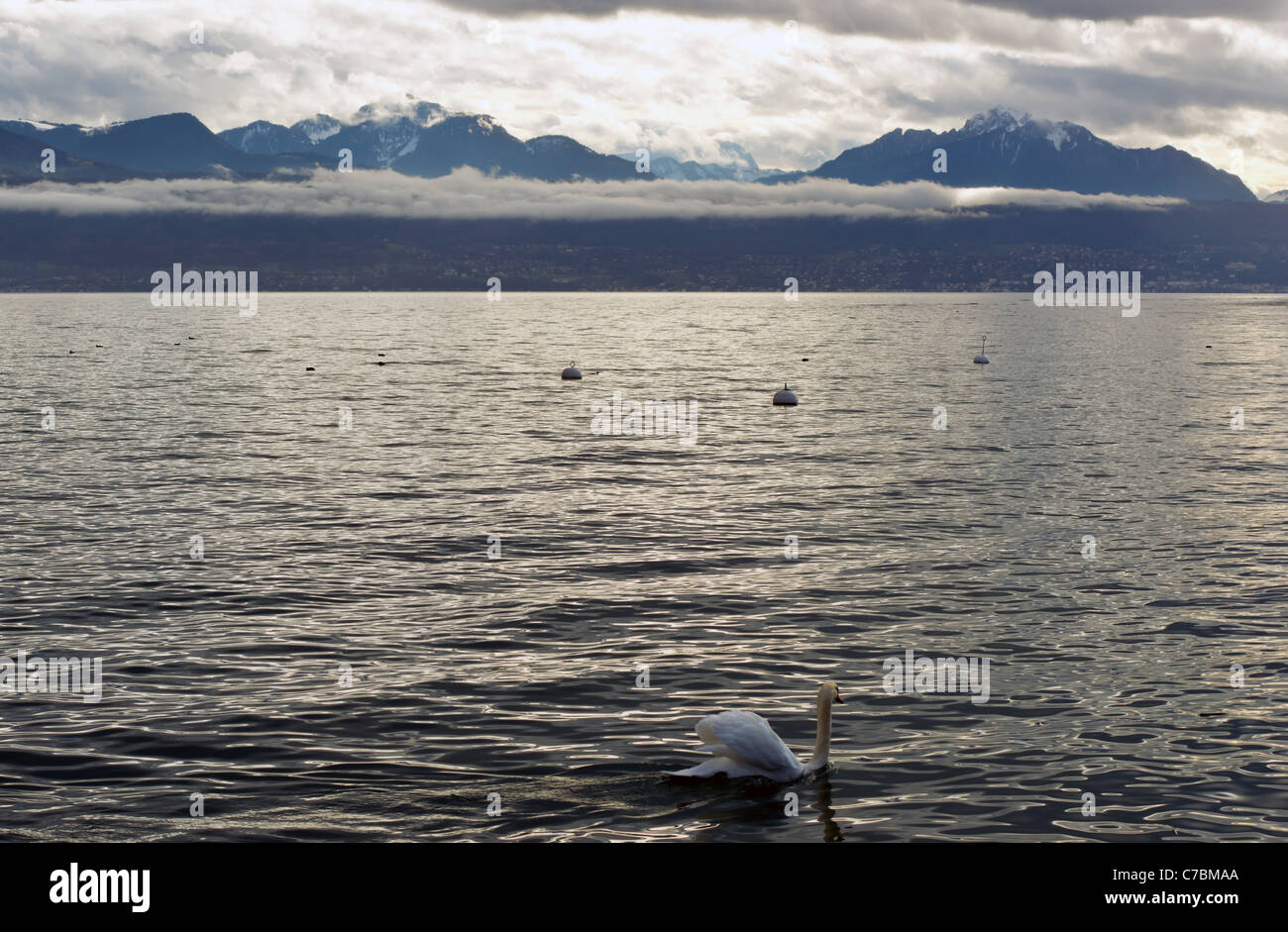 Swan on Lac Leman (Geneva Lake) Lausanne, Switzerland - Stock Image