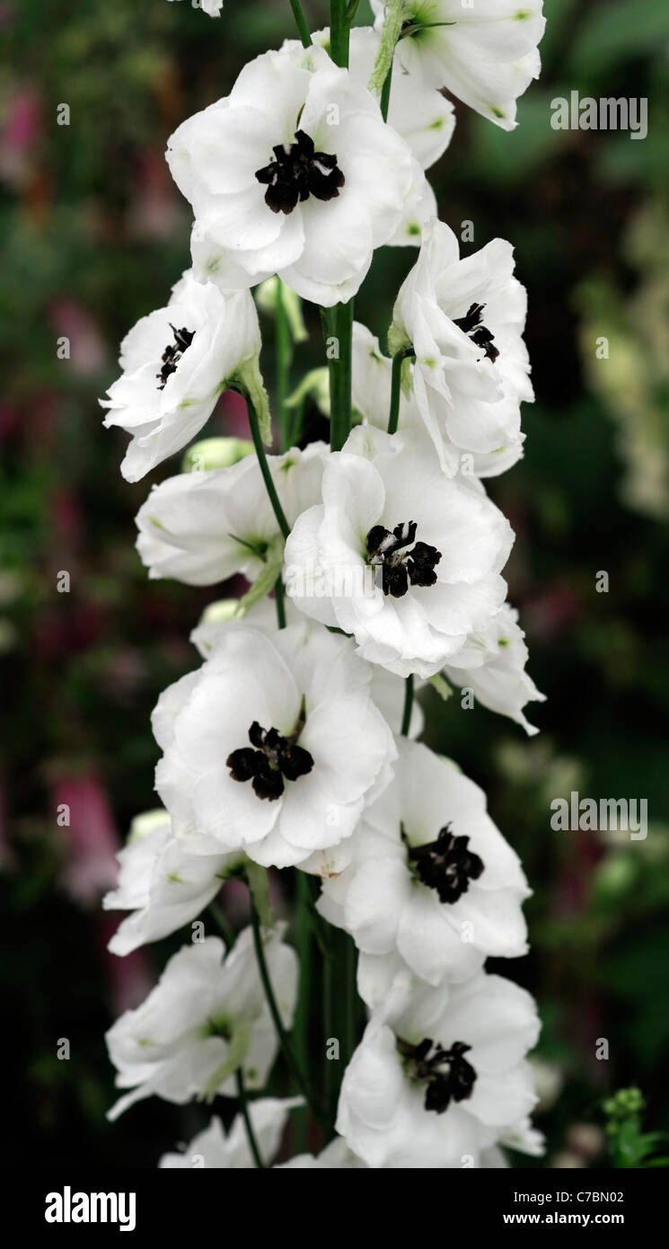 White delphinium black pearl herbaceous perennial tall erect white delphinium black pearl herbaceous perennial tall erect flower spike inflorescence flowers grouped long pedicels mightylinksfo