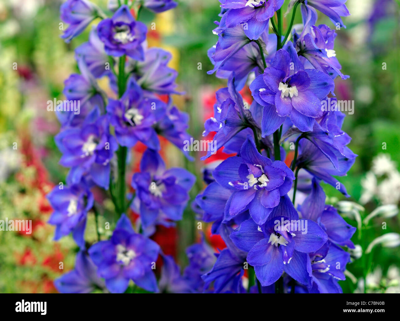 Rich blue delphinium hansenii independence herbaceous perennial rich blue delphinium hansenii independence herbaceous perennial tall erect flower spike bloom blossom flowers blooms blossoms mightylinksfo Image collections
