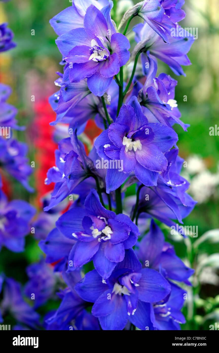 Tall blue perennial flowers images flower decoration ideas rich blue delphinium hansenii independence herbaceous perennial rich blue delphinium hansenii independence herbaceous perennial tall erect mightylinksfo