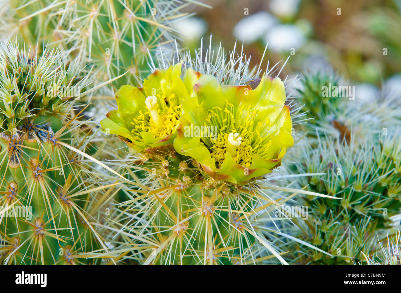 Buckhorn Cholla flower (Cylindropuntia acanthocarpa), Anza-Borrego Desert State Park, California USA Stock Photo