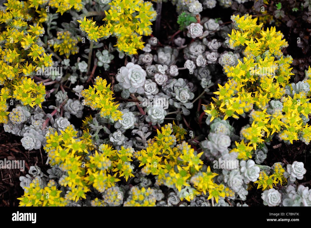 Sedum spathulifolium cape blanco stonecrop yellow stonecrop flower sedum spathulifolium cape blanco stonecrop yellow stonecrop flower bloom blossom succulent ground cover mightylinksfo