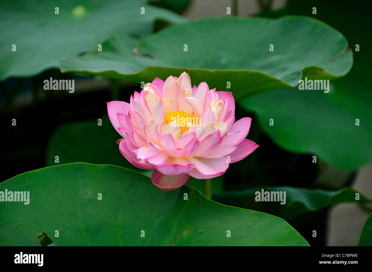 Pink Lotus Flower And Green Leaves Stock Photo 38982762 Alamy