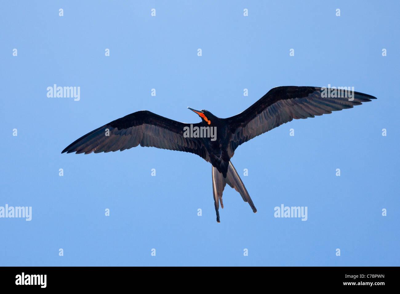 Frigatebird (Fregata) in flight Stock Photo
