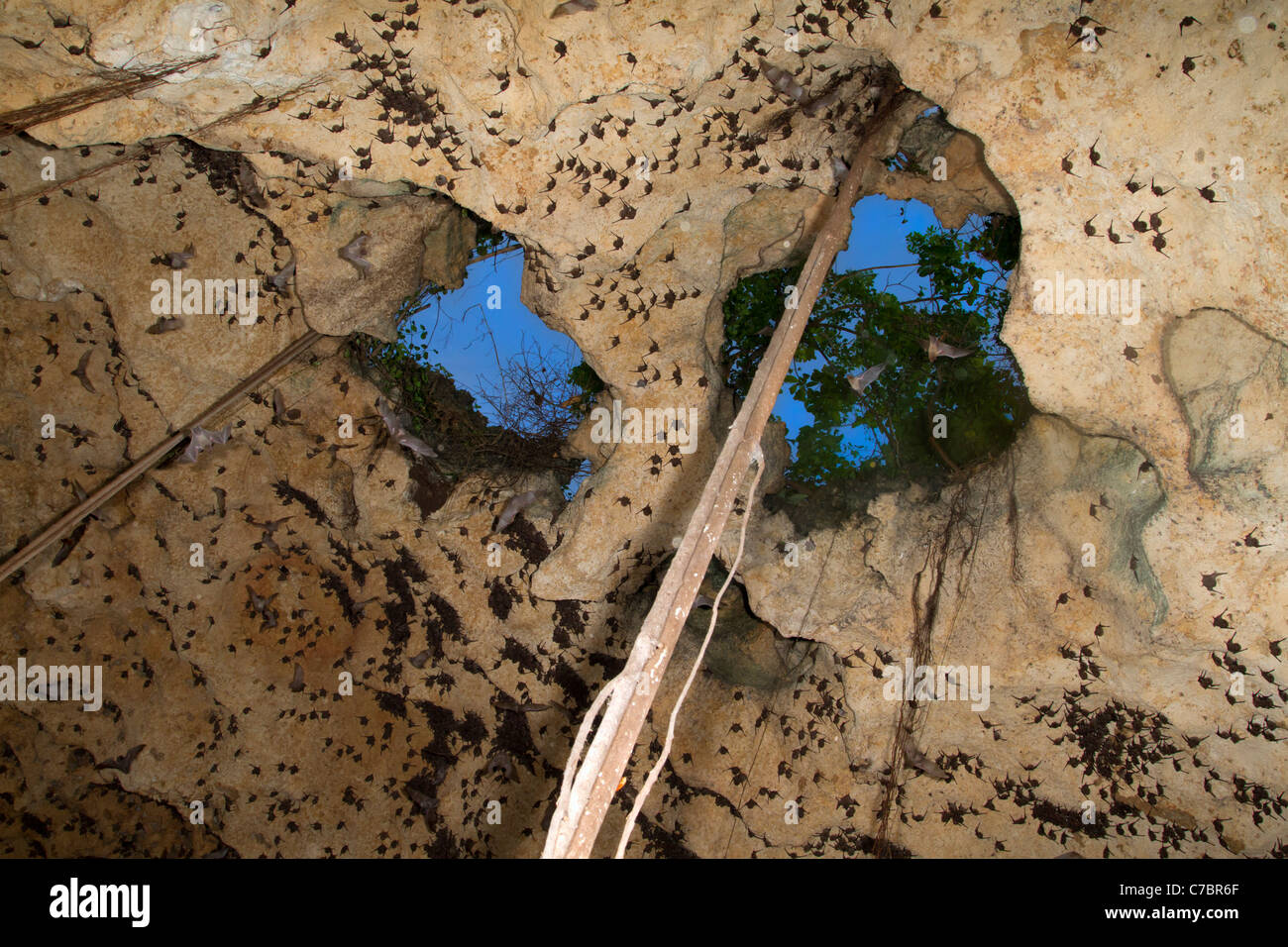 A cave with a large colony of the African Sheath-Tailed bats (Coleura afra). - Stock Image