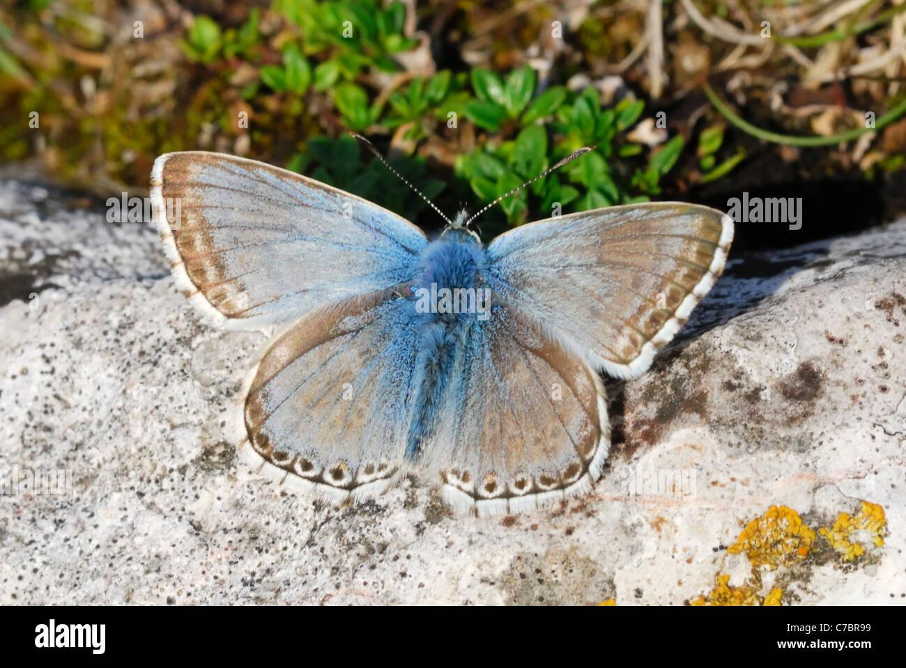 Male Chalkhill Blue butterfly (Polyommatus coridon) Stock Photo
