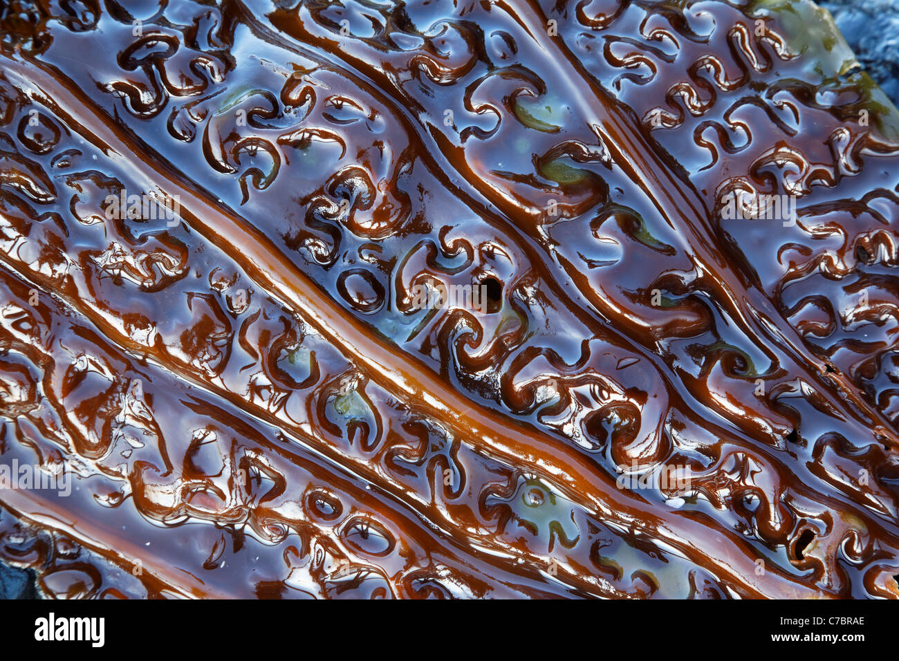 Close-up of giant kelp frond, Salt Creek Recreation Area, Clallam County, Washington, USA - Stock Image