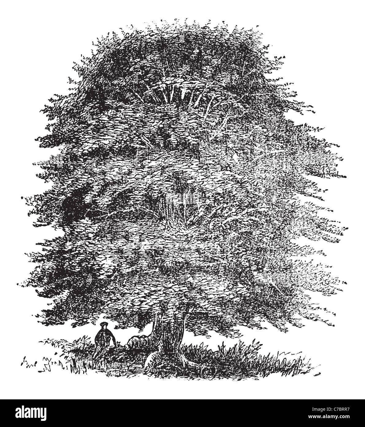 Beech tree vintage engraving old engraved illustration of beech beech tree vintage engraving old engraved illustration of beech tree on white altavistaventures Gallery