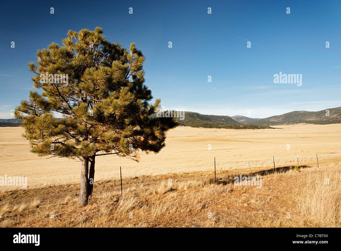 A lone tree stands at the edge of the Valle Grande caldera, Valles Caldera National Preserve, New Mexico, USA - Stock Image