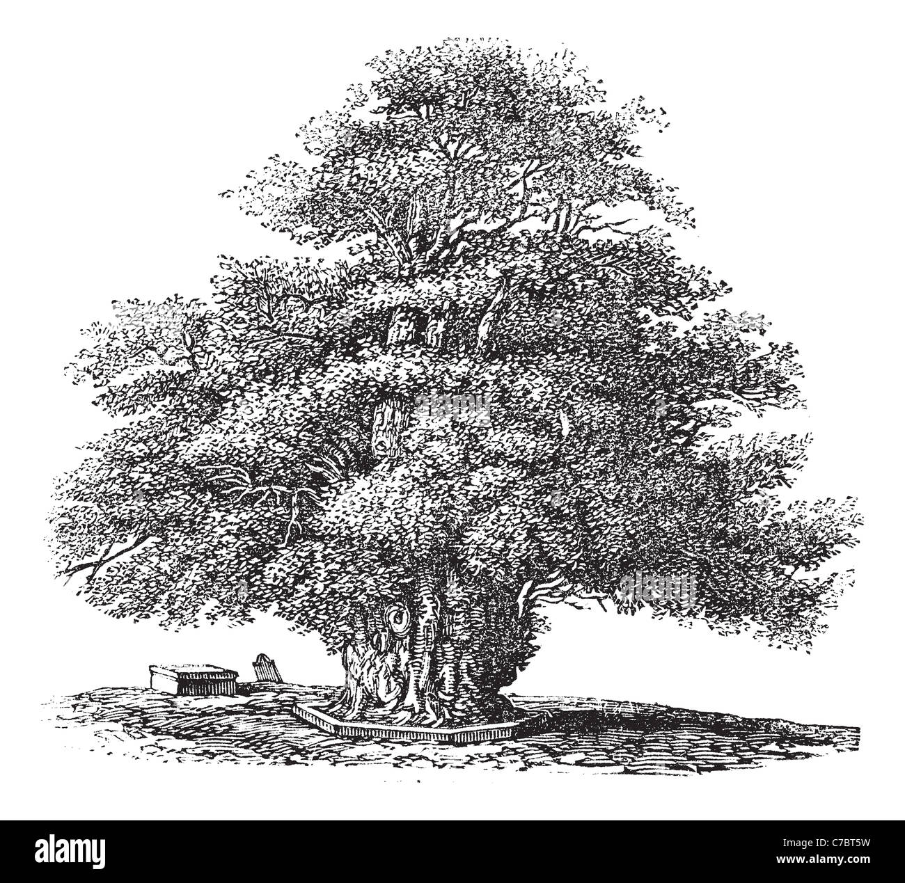 Yew tree or Darley Yew at St. Helens church in Darley, Derbyshire, England, during the 1890s, vintage engraving. - Stock Image
