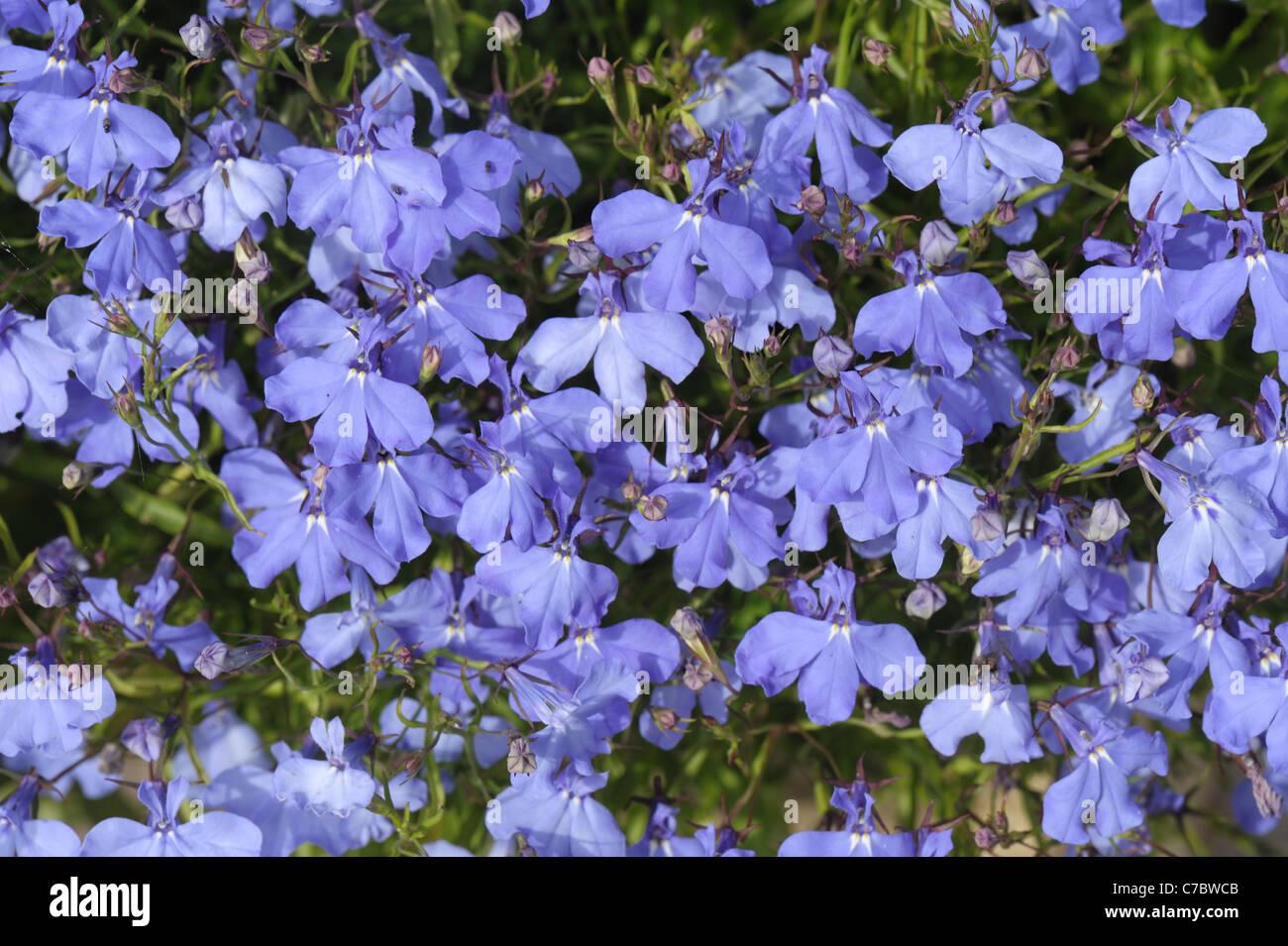 Trailing Lobelia Stock Photos Trailing Lobelia Stock Images Alamy