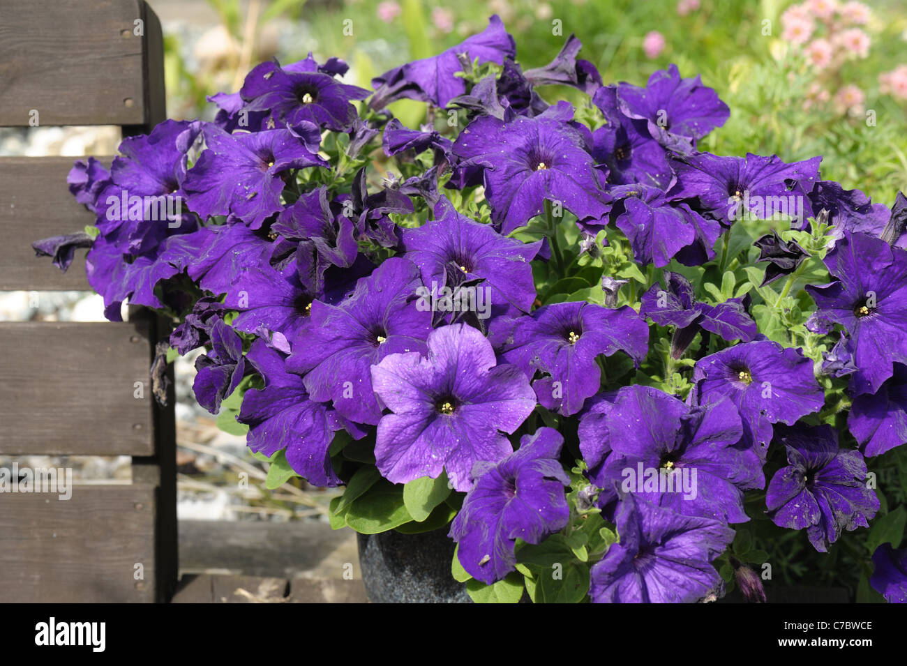 Mauve flowered Petunia grandiflora in a garden container - Stock Image