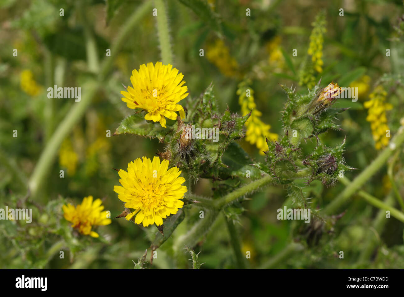 Bristly ox-tongue (Picris echioides) flowering plants - Stock Image