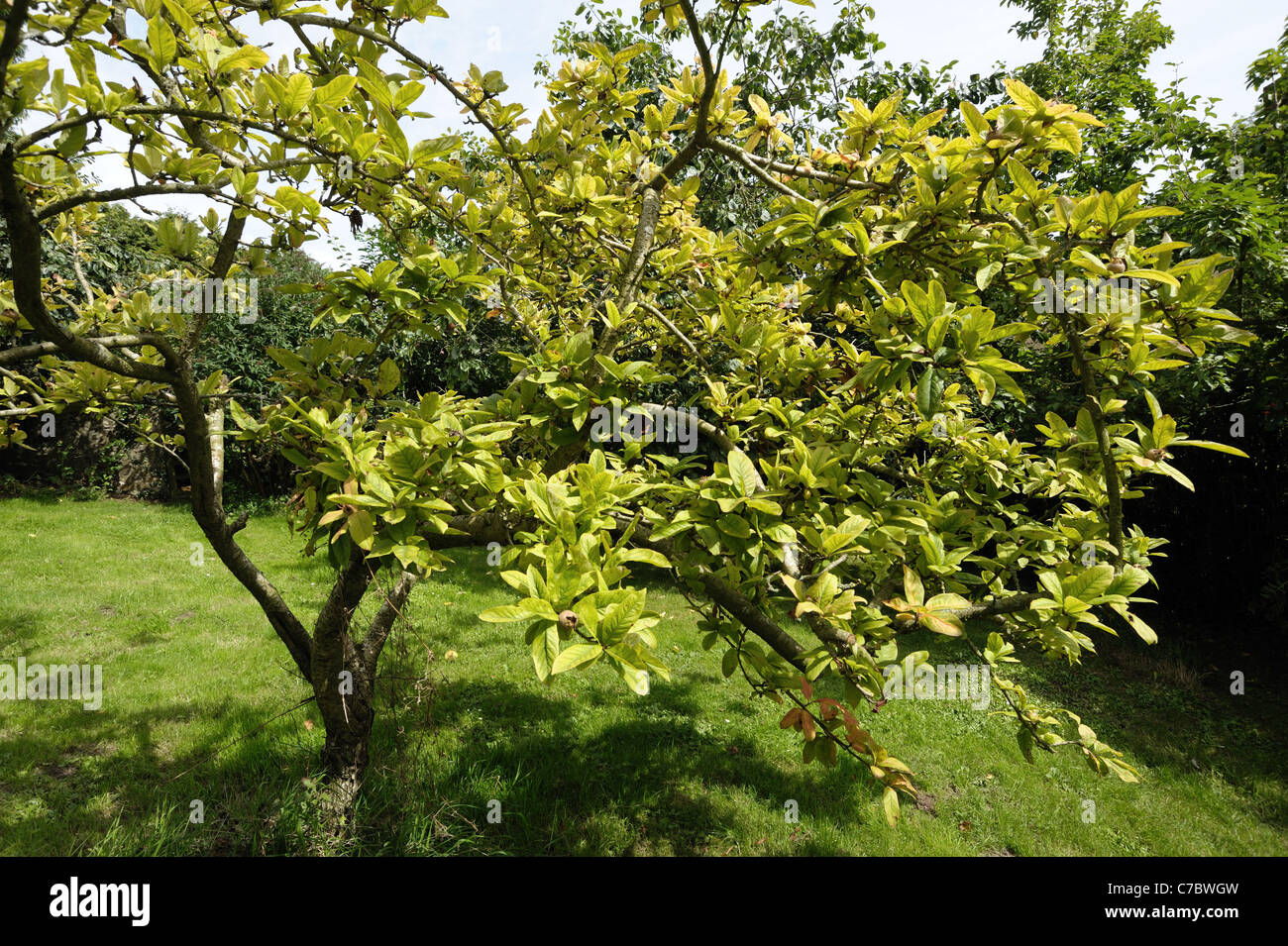 Slow decline and yellowing of an established medlar tree - cause is not known - Stock Image