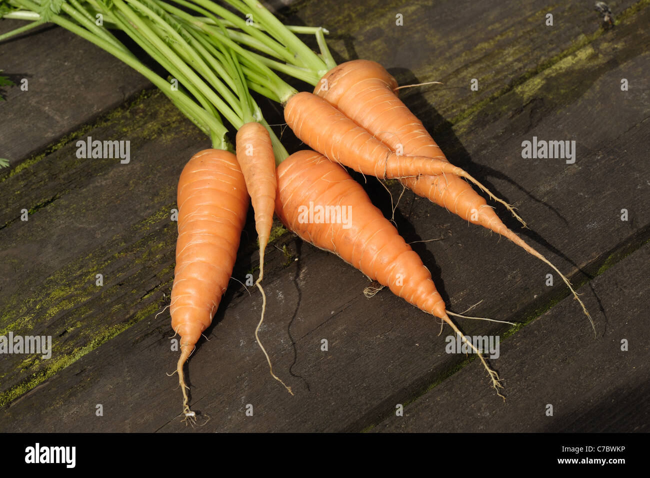 Mature garden container grown carrots - Stock Image