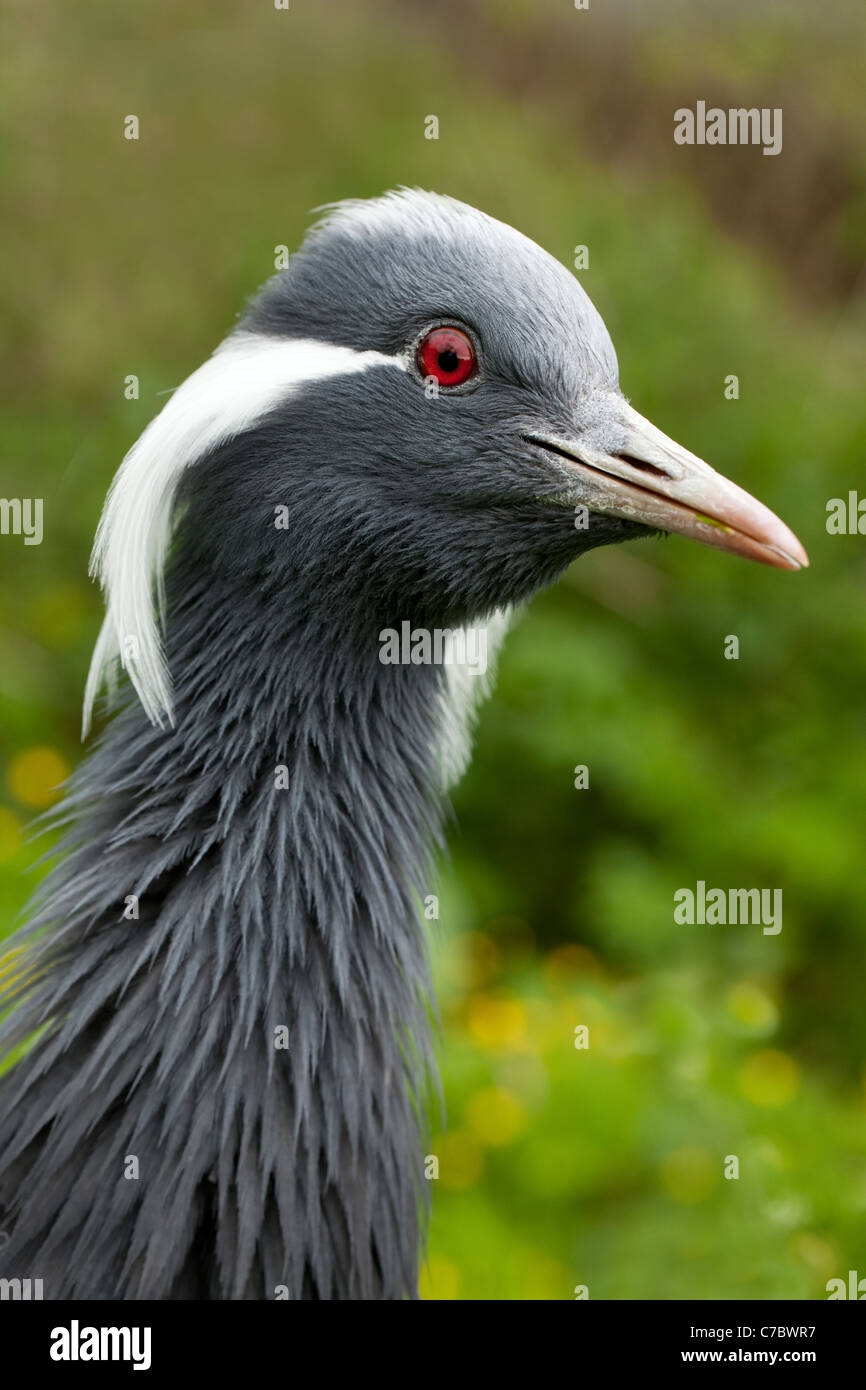 Demoiselle Crane (Anthropoides virgo). Apprehensive, anxious mood; shown by raised plumage of neck feathers. - Stock Image