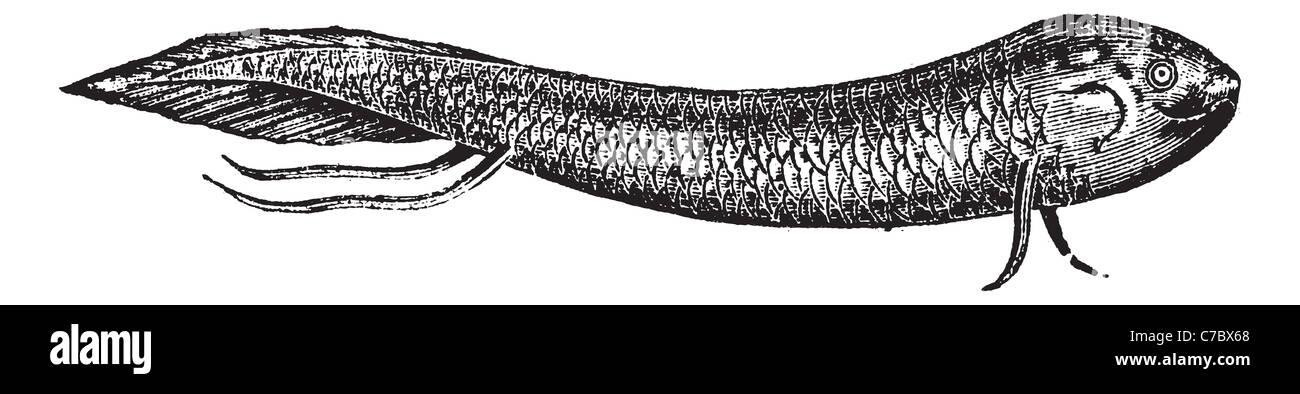 Lepidosiren or American mud-fish or scaly salamander-fish, vintage engraved illustration. Trousset encyclopedia - Stock Image
