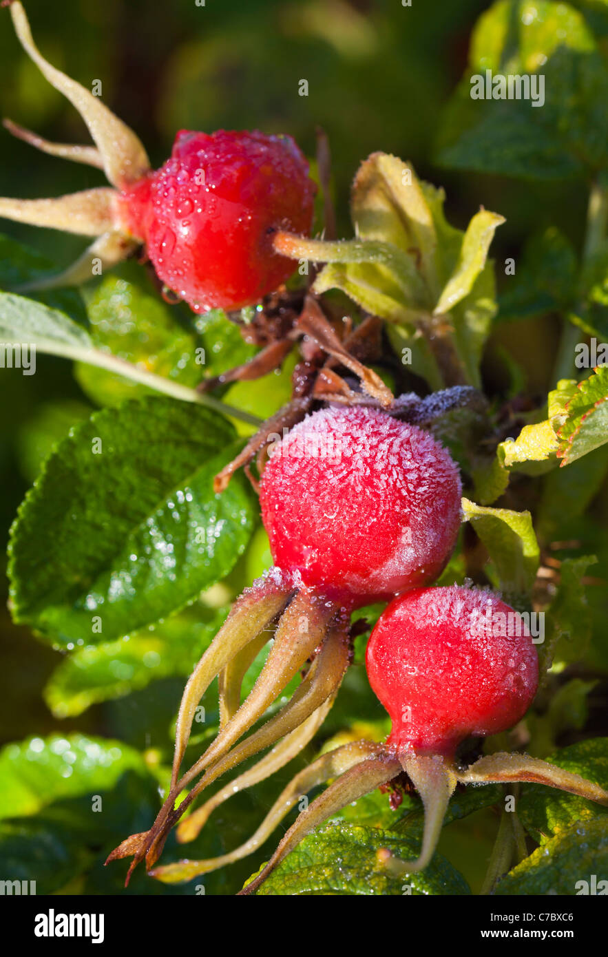 Frosty rose berries Stock Photo