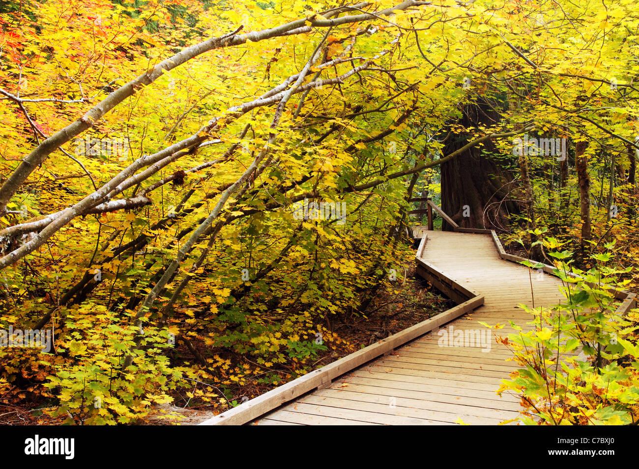 Boardwalk trail through fall colored vine maple, Grove of the Patriarchs Trail, Mount Rainier National Park, Washington, - Stock Image