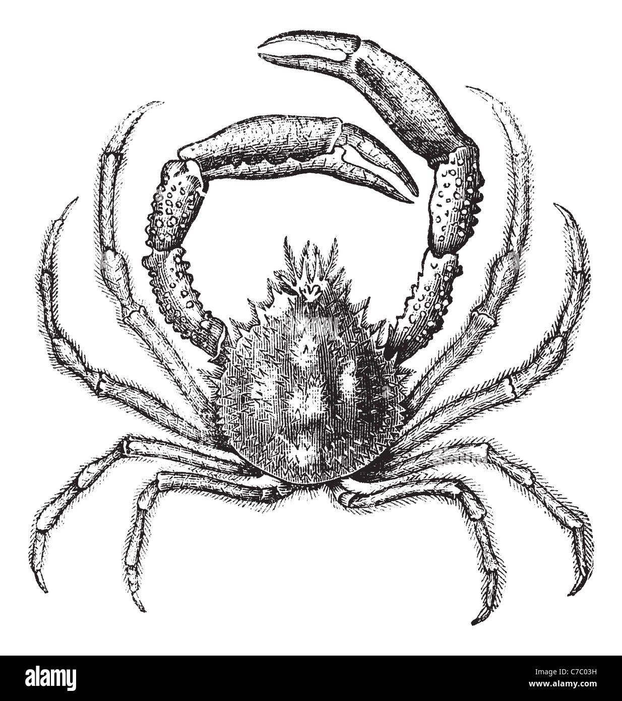 Wunderbar Dungeness Crab Anatomie Bilder - Menschliche Anatomie ...