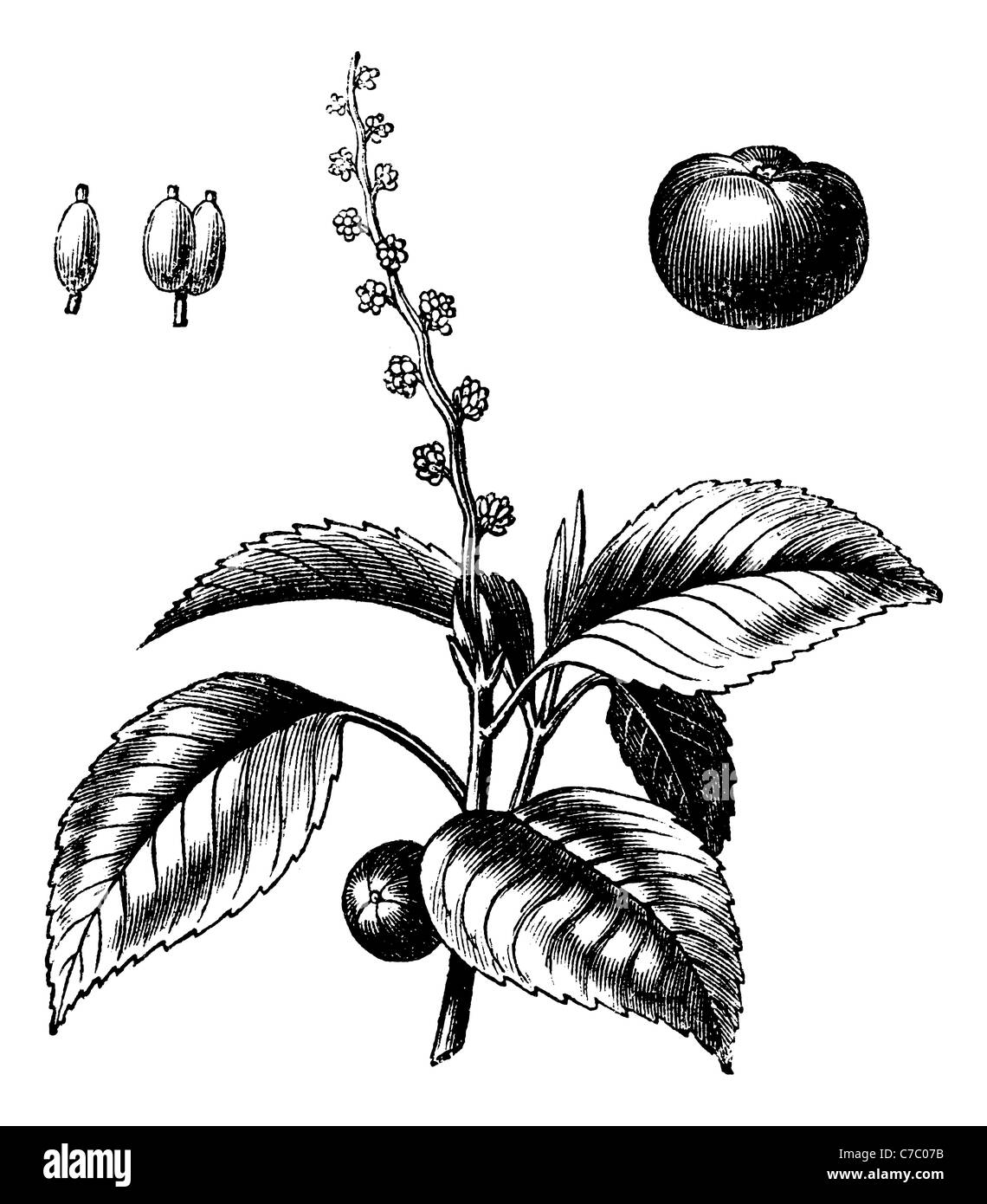 Manchineel tree or Mancinella, vintage engraving. Old engraved illustration of Manchineel tree isolated on a white - Stock Image