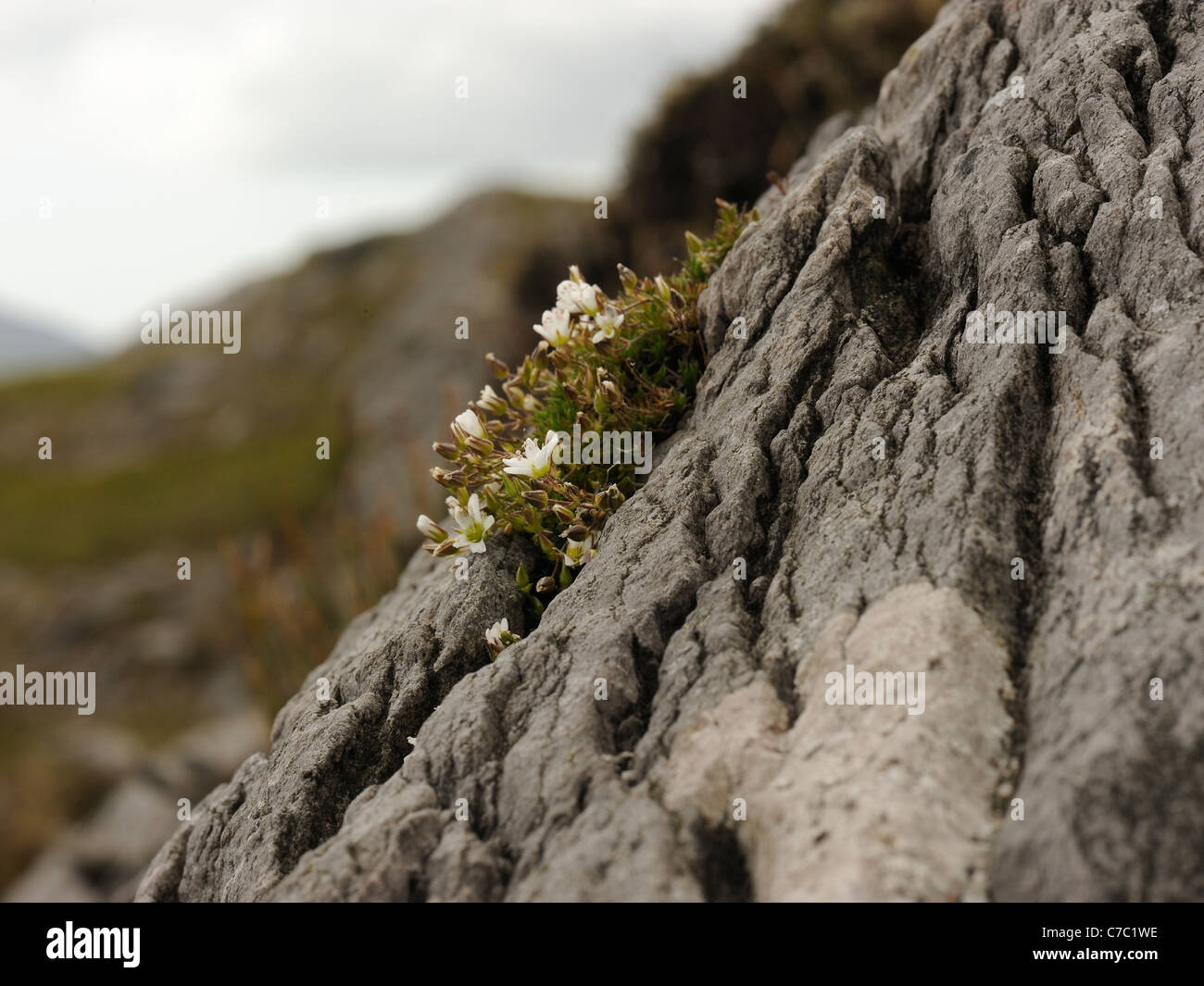 Recurved Sandwort, minuartia recurva growing in thin humus in dry narrow cracks in slabs of siliceous rocks of Old - Stock Image