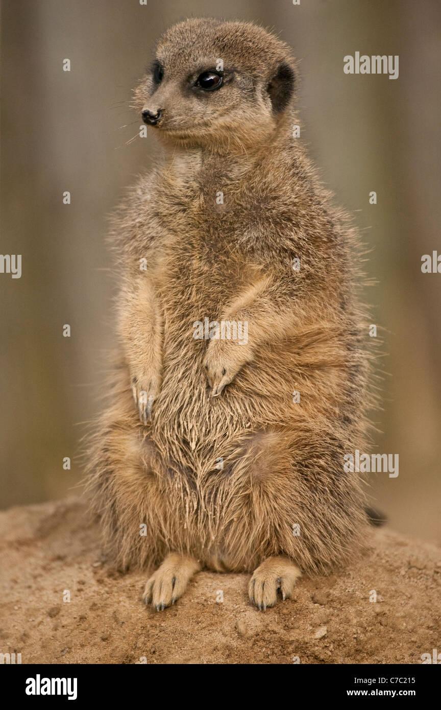 Meerkat or suricate, Suricata suricatta standing keeping watch for predators - Stock Image