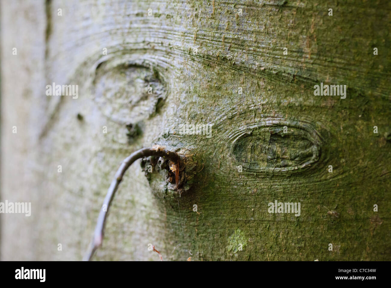 A strange face in the bark of a tree Stock Photo