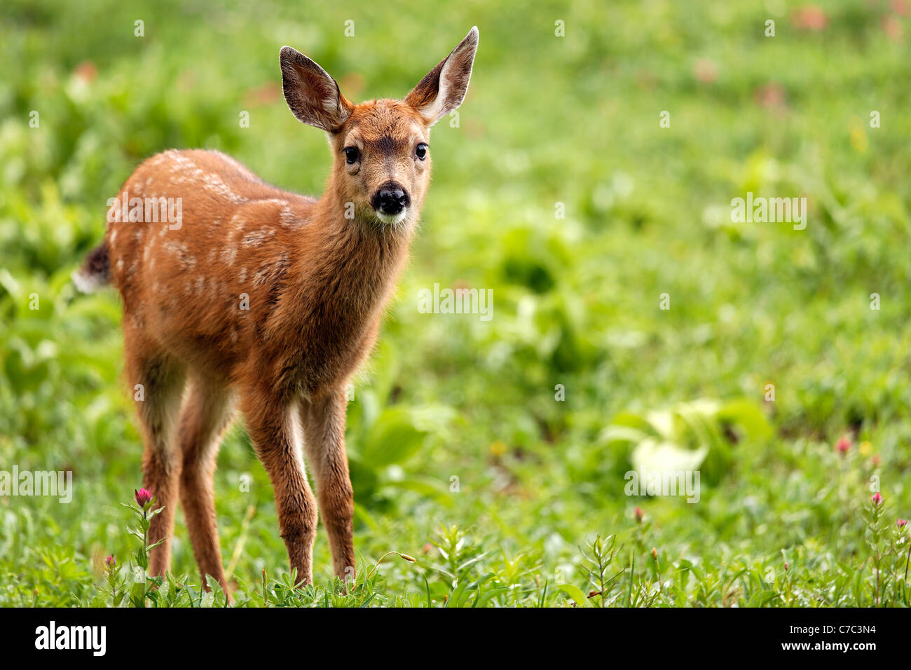 Blacktail deer fawn, Paradise, Mount Rainier National Park, Washington, USA Stock Photo