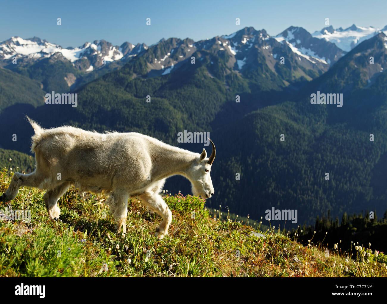 Mountain goat, Bailey Range, Olympic Mountains, Olympic National Park, Washington - Stock Image