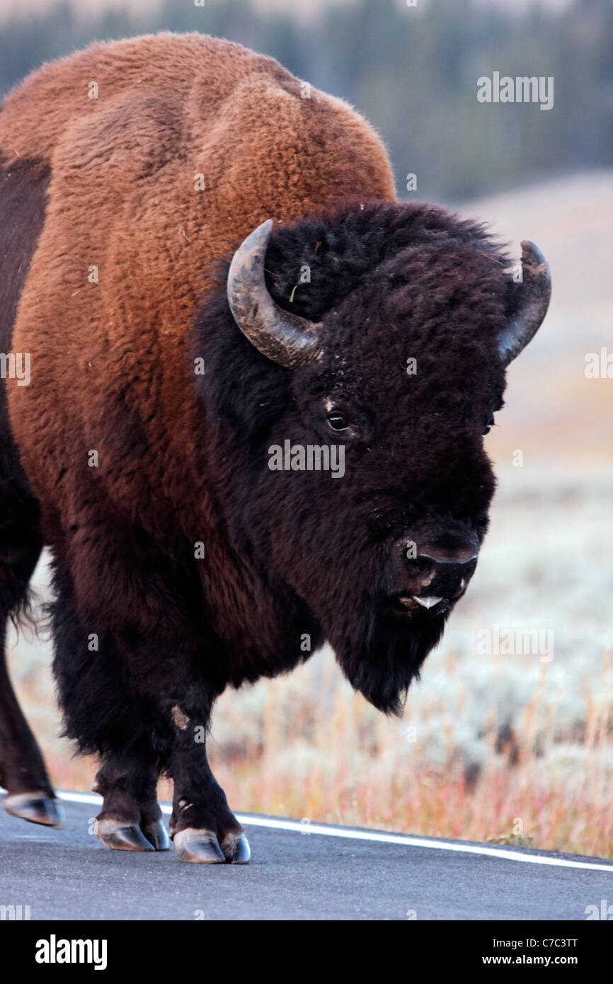 Male bison walking on park road in autumn near Swan Lake, Yellowstone National Park, Wyoming, USA - Stock Image