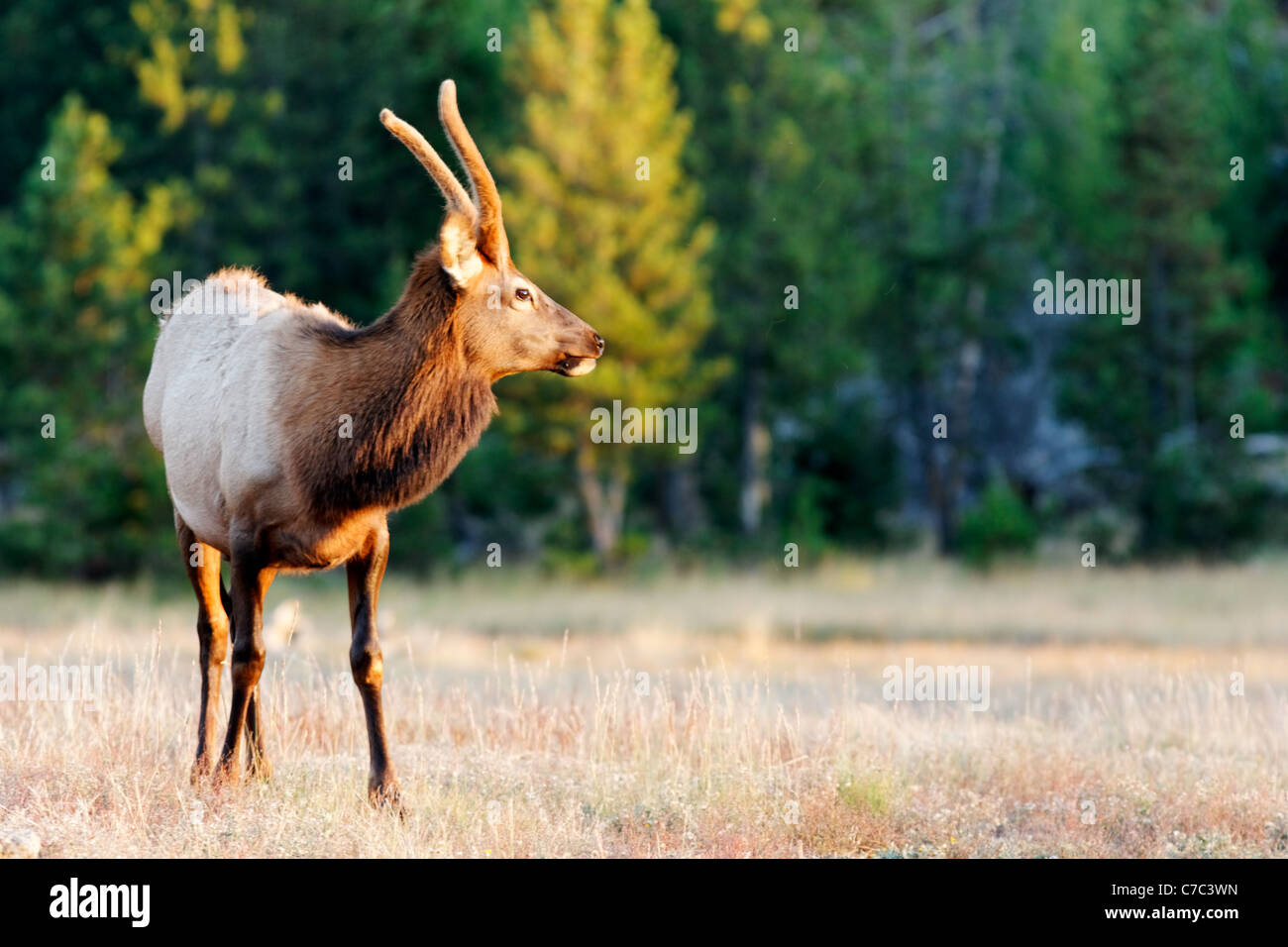 Immature male elk standing in meadow at Madison River Valley in autumn, Yellowstone National Park, Wyoming, USA - Stock Image