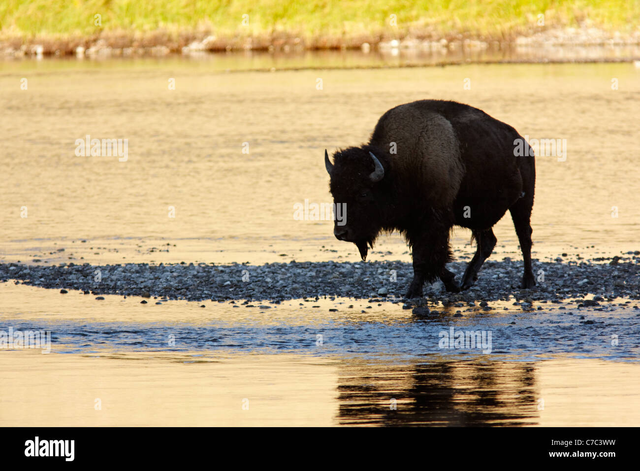 Male bison fording the Hayden River in autumn, Yellowstone National Park, Wyoming, USA - Stock Image