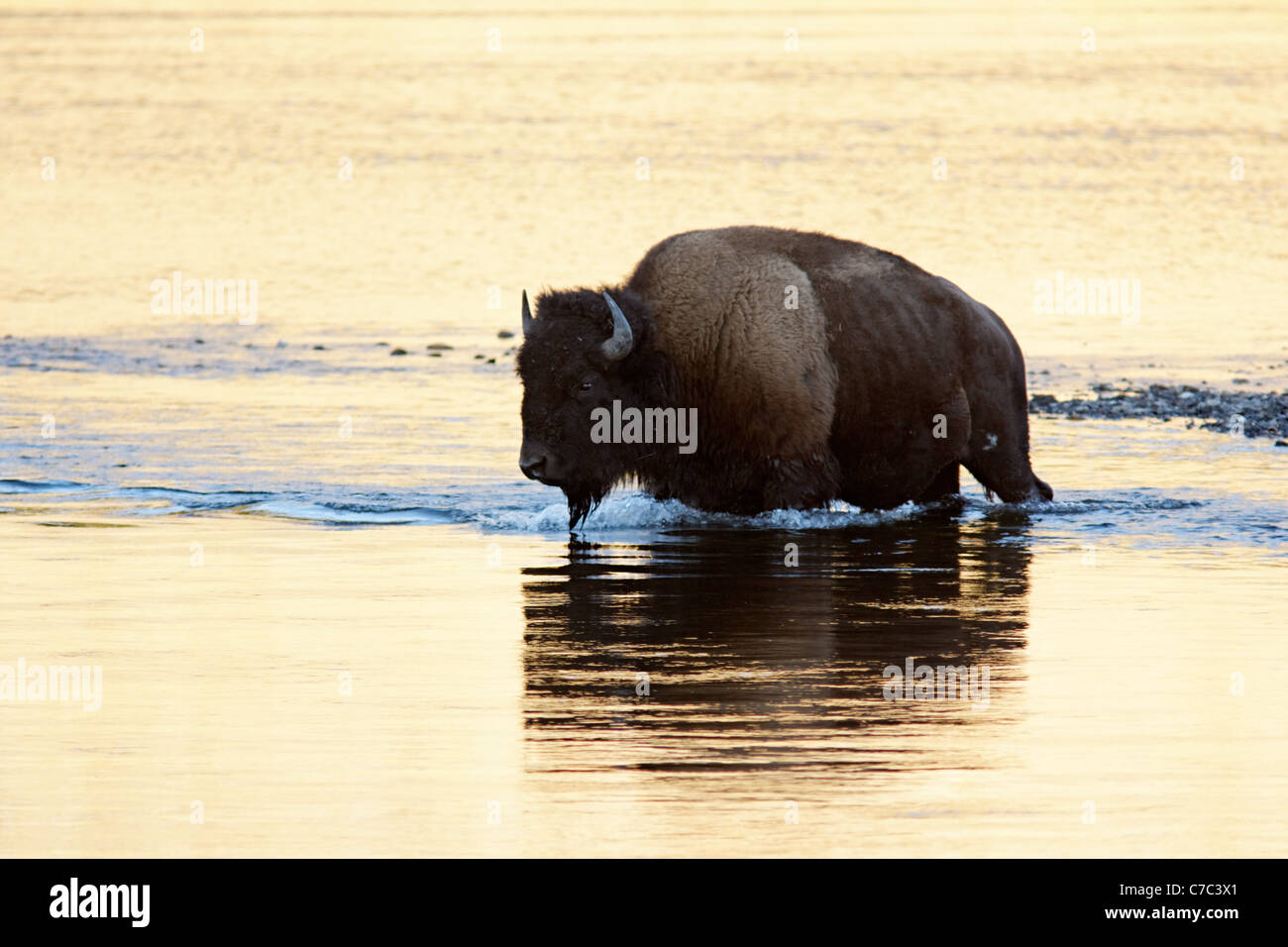 Male bison fording the Hayden River in autumn, Yellowstone National Park, Wyoming, USA Stock Photo