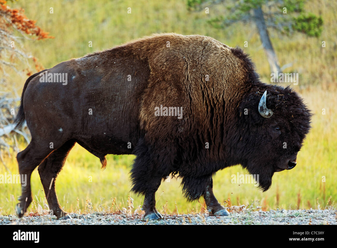 Male bison walking along gravel road shoulder with autumn foliage, Yellowstone National Park, Wyoming, USA - Stock Image
