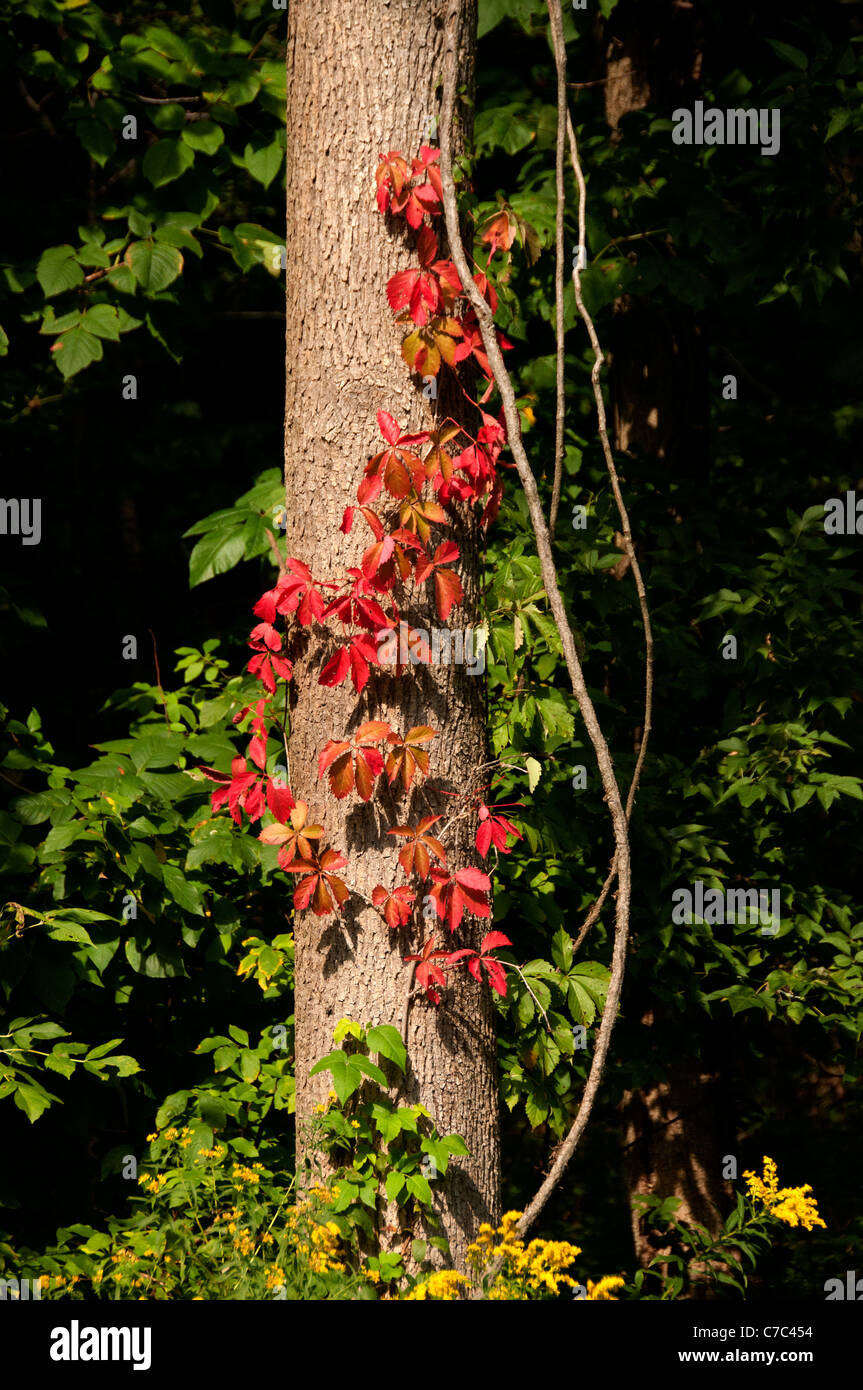 Red ivy on tree trunk. - Stock Image