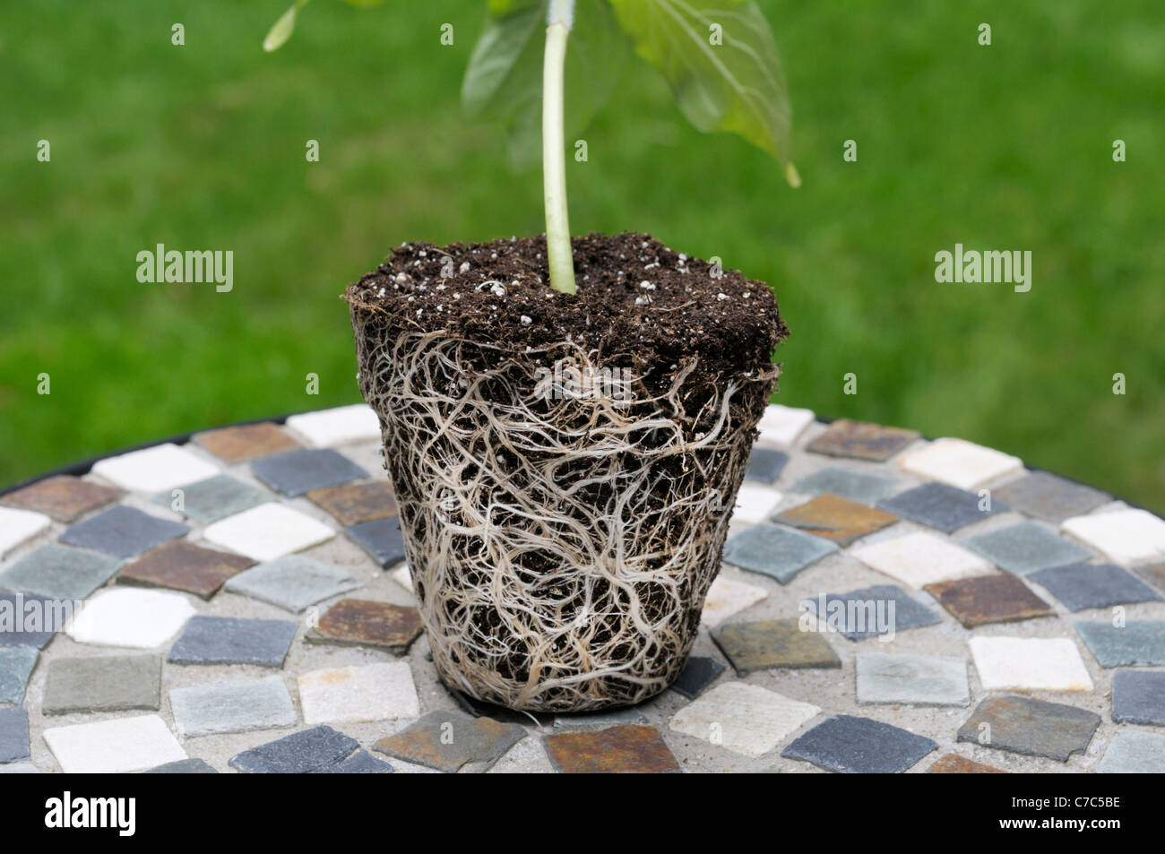 Root ball from sunflower plant, Helianthus annuus - Stock Image