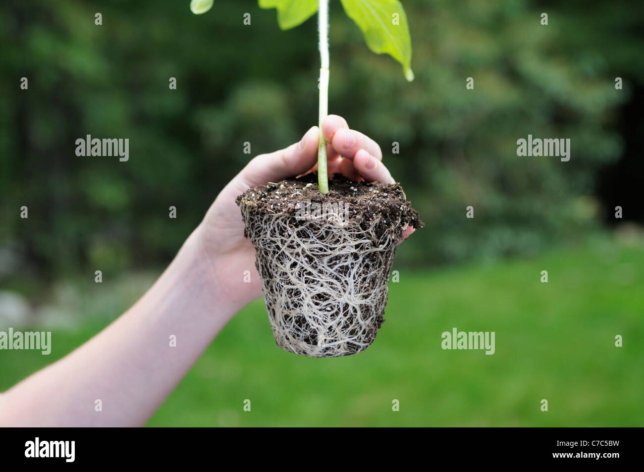 Boy holding a root ball from sunflower plant, Helianthus annuus - Stock Image