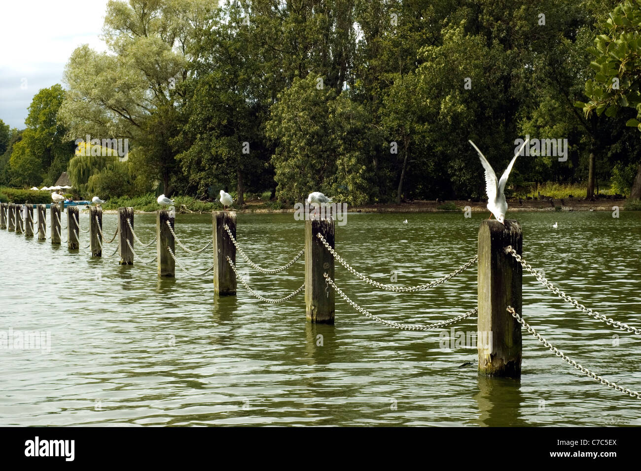 Common Gulls (Larus Canus) on dividing posts in a boating lake in Regents Park, London, UK. Taken on the 13th August - Stock Image
