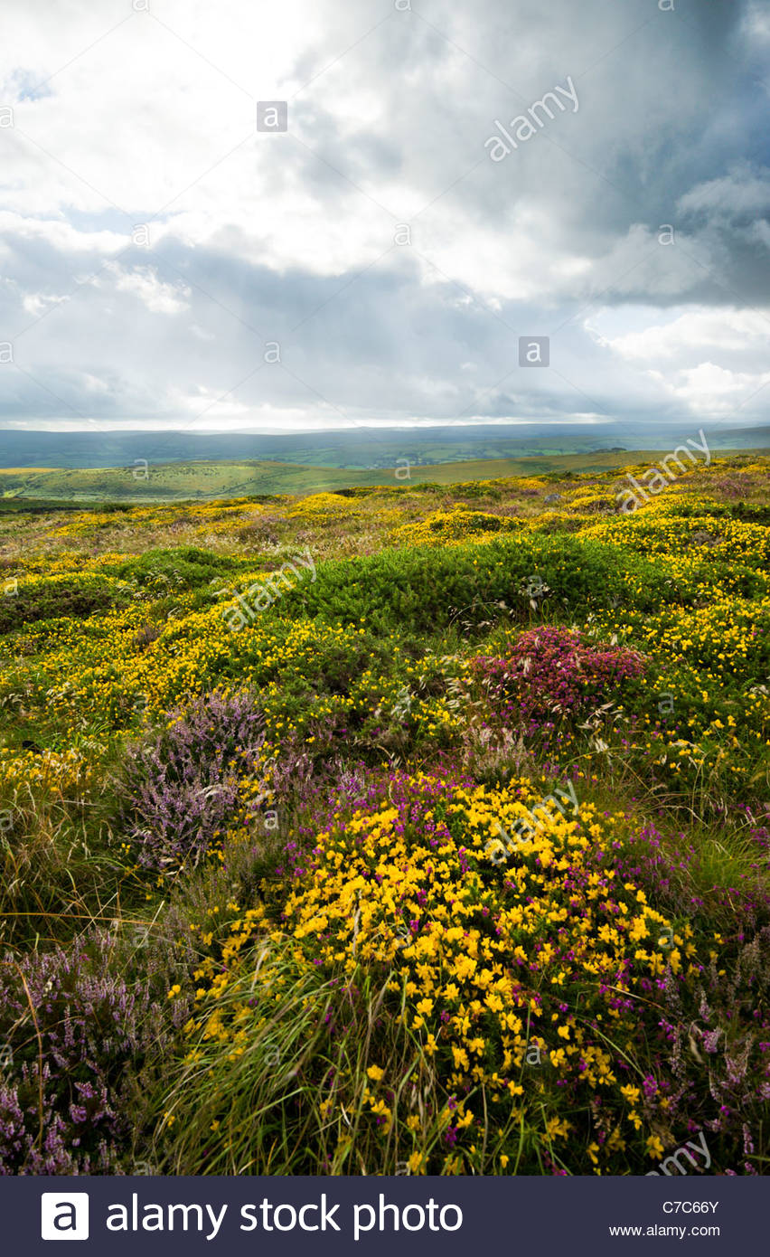 Heather and gorse in late summer, near Rippon Tor, Dartmoor National Park, Devon, England - Stock Image