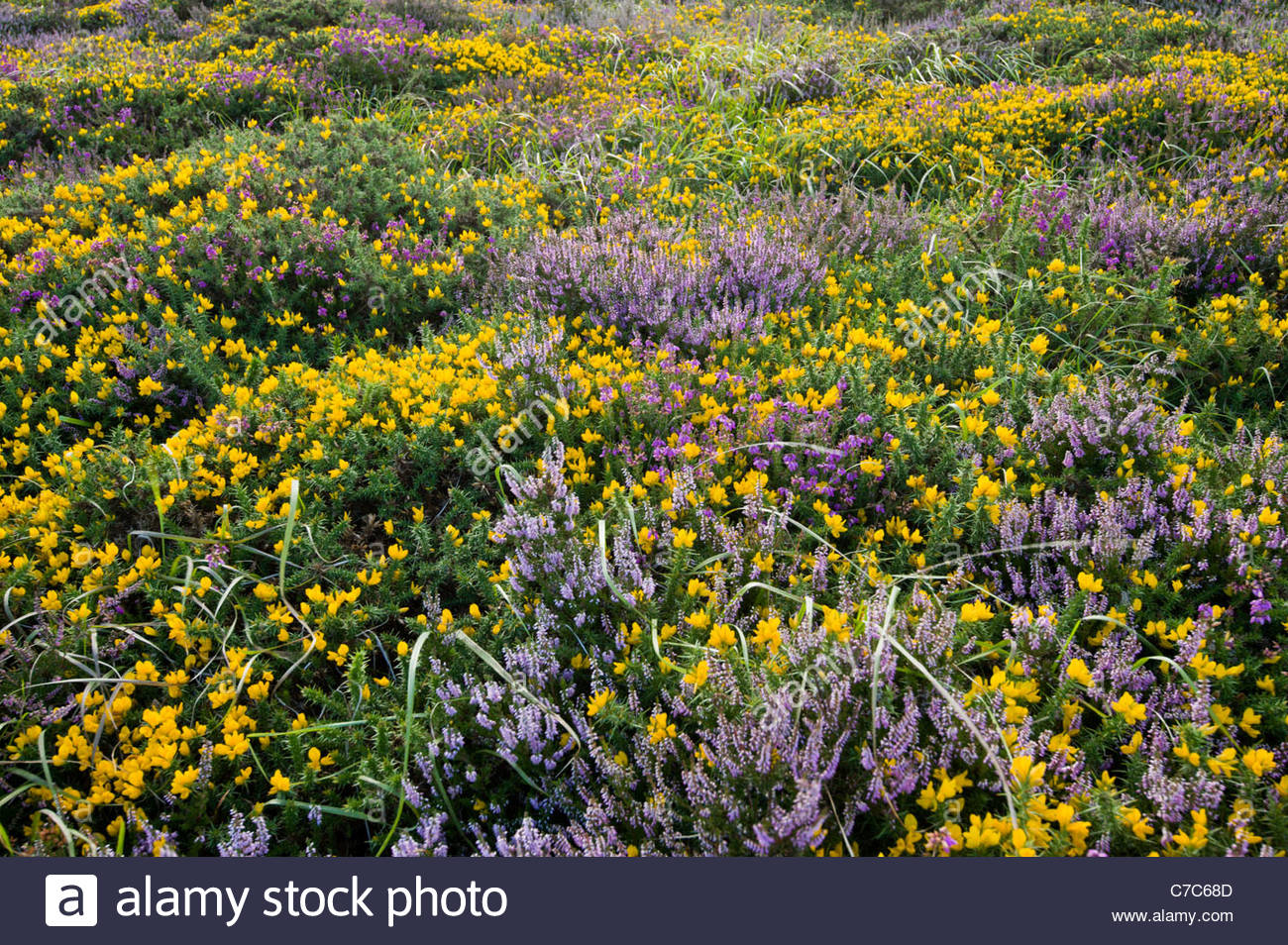 Late summer heather and gorse, Dartmoor National Park, Devon, England - Stock Image